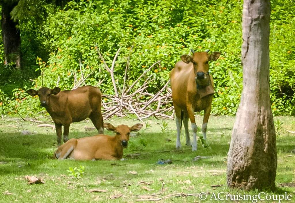 Gili Islands Cows