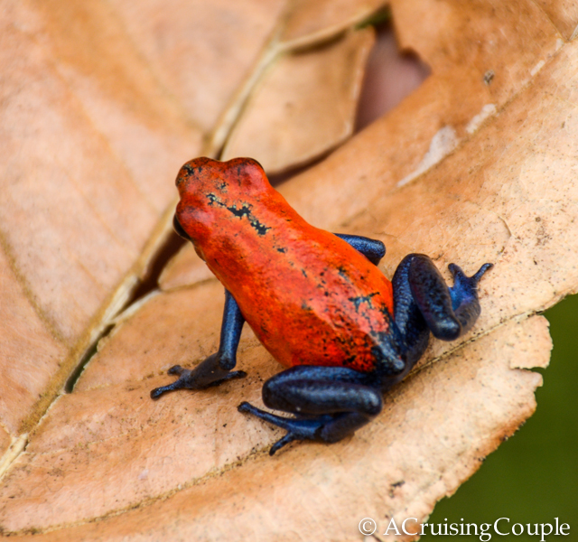 Poison Dart Frog Costa Rica Wildlife Blue Jeans