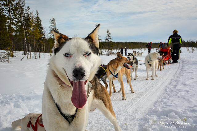 Becoming a Musher: A Day of Husky Dog Sledding