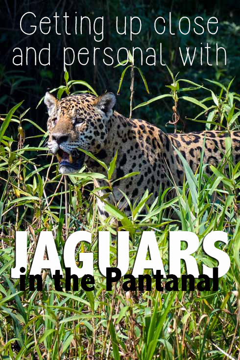Getting Up Close and Personal With Jaguars in the Pantanal Pinterest text