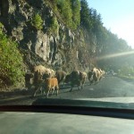 Yellowstone: Where the Buffalo Roam (Really Close to Your Car)