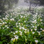 Taiwan Calla Lily Festival: Frolicking Permitted