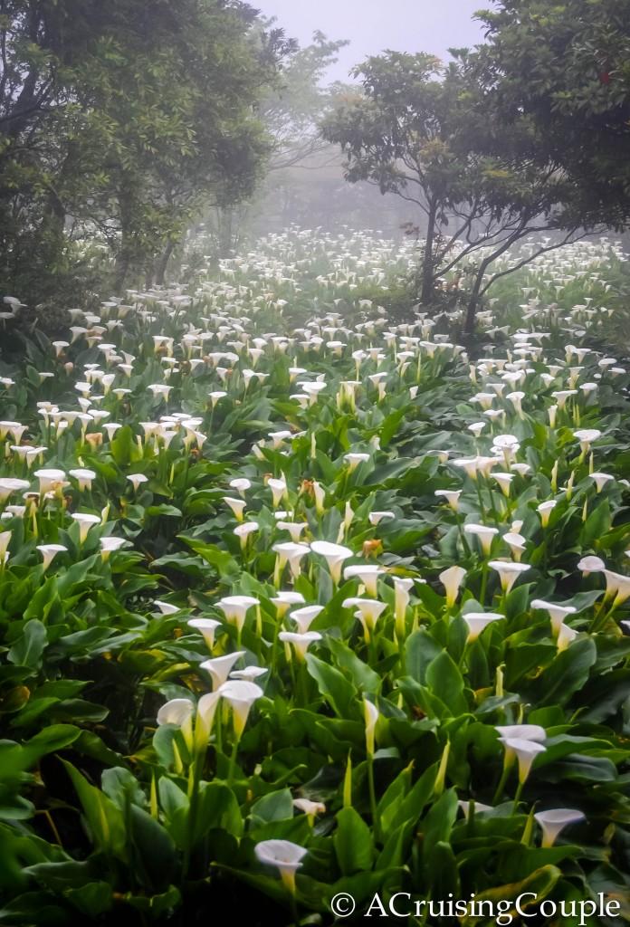 Calla Lily Festival Field