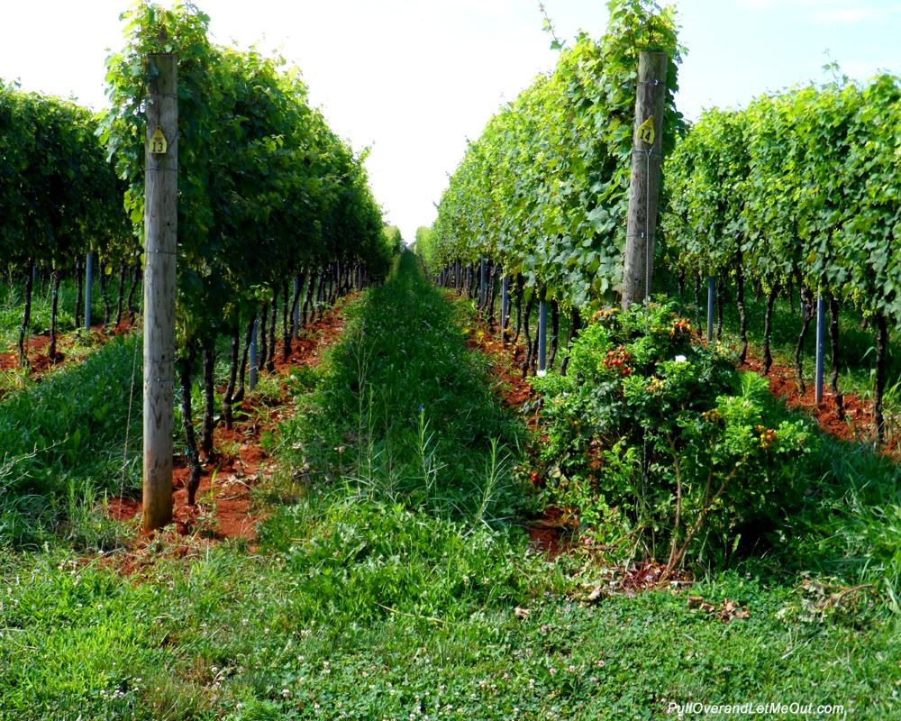 Cab-franc-grapes
