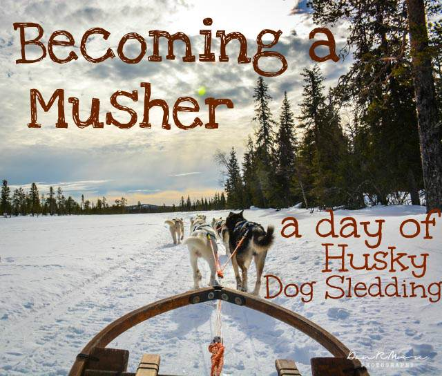 A Day of Husky Dog Sledding