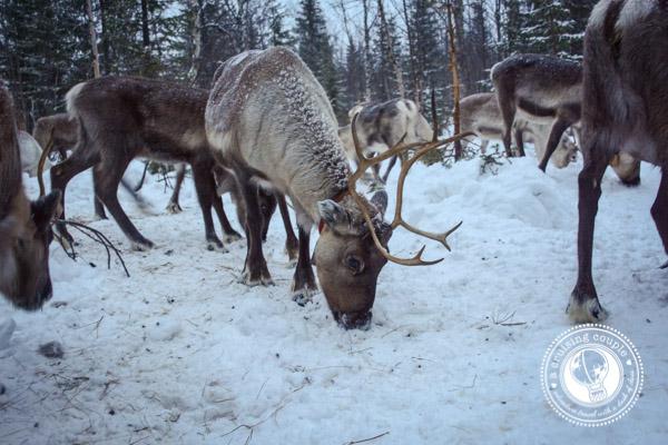 The Culture of Sami Reindeer Herding   Finnish Lapland Reindeer