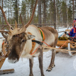 The Culture of Sami Reindeer Herding in Finnish Lapland