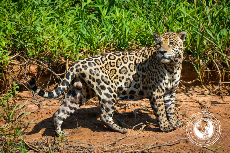 Getting Up Close With Jaguars in the Pantanal – An Ultimate Bucket List Experience