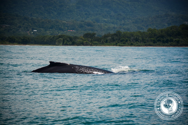 Whale Watching In Costa Rica: A Spectacular Wildlife Encounter